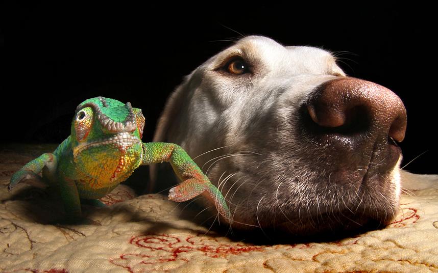 Лучшие приятели - лабрадор и хамелеон