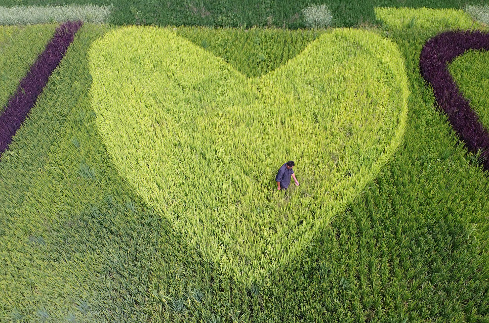 Фермер с креативом высадил рис на своем поле, провинция Чжэцзян