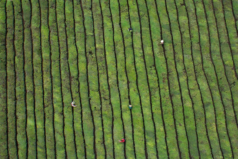 Чайная плантация в провинции Чжэцзян