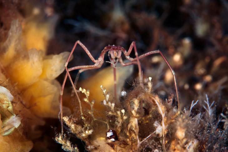 Морские пауки