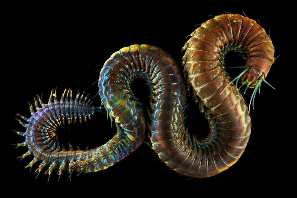 Многощетинковые черви или полихеты
