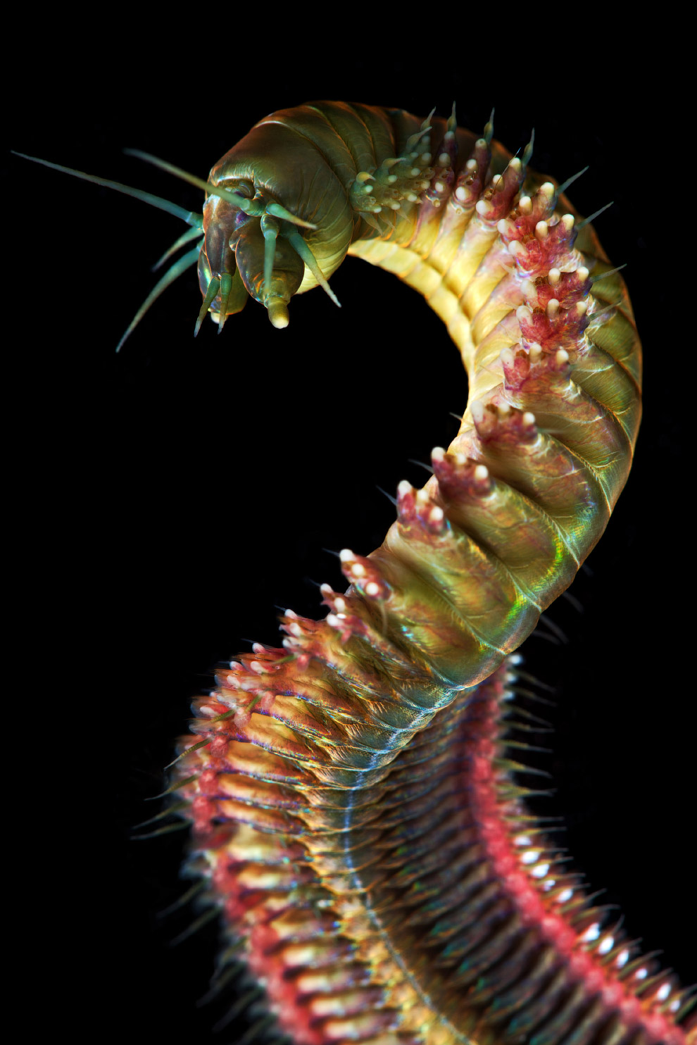 Многощетинковый червь или полихет