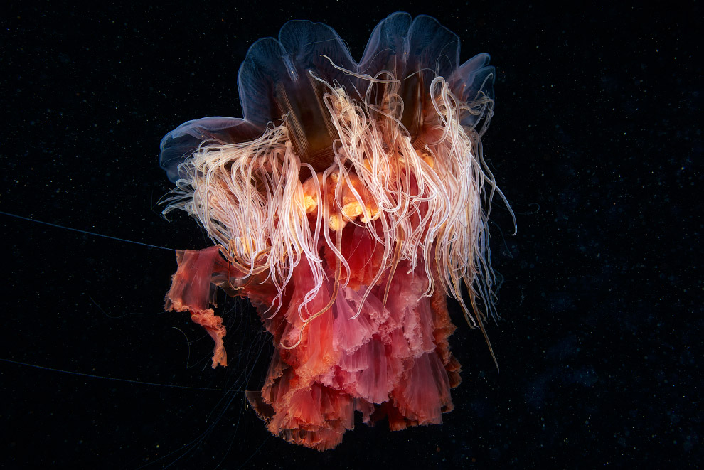Волосистая цианея