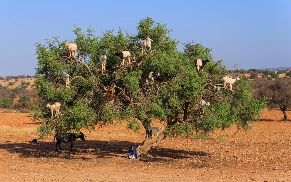 Козы на дереве