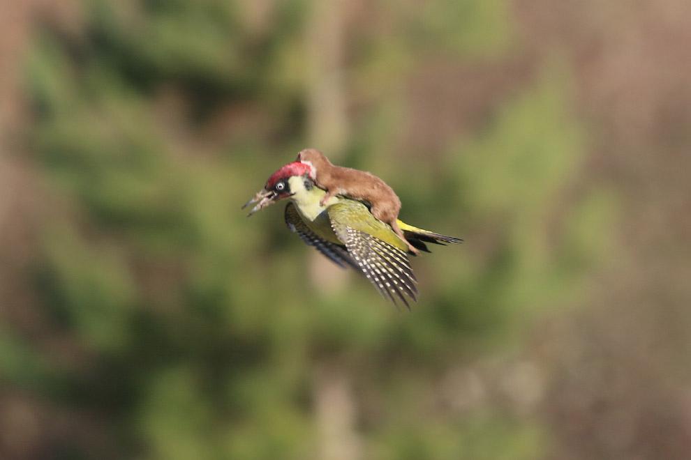Ласка, летящая на дятле