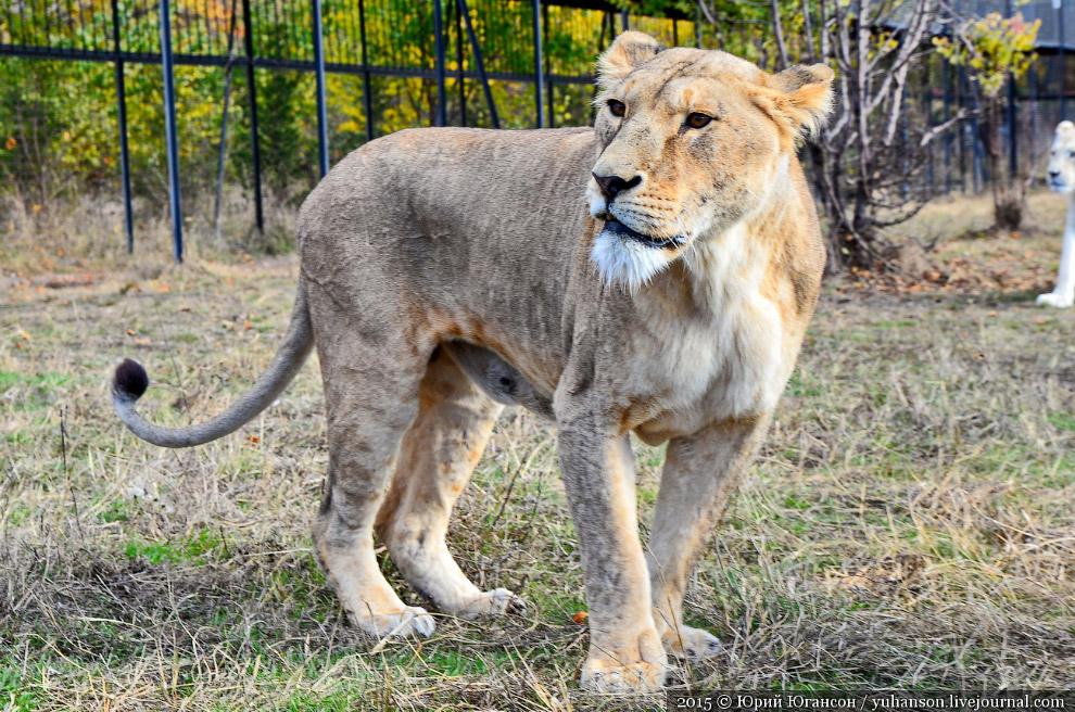 В обнимку со львами