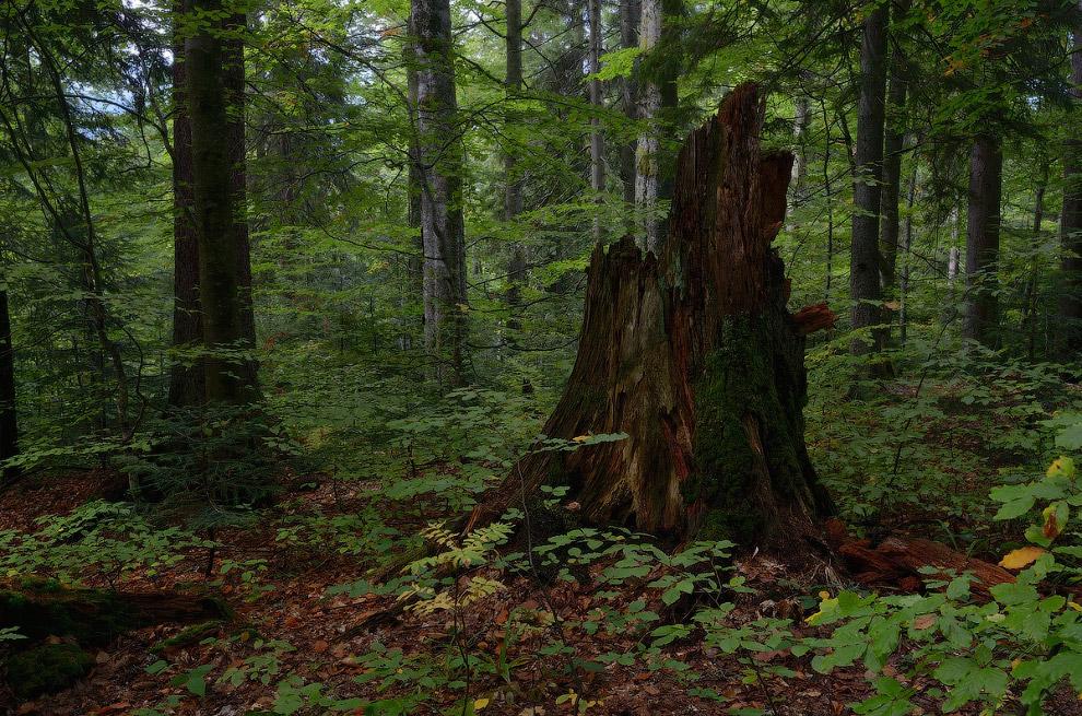 В лесу около полонины Лисичья.