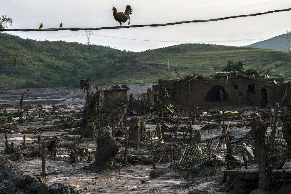Куры-эквилибристы в уничтоженном селении Бенто-Родригес