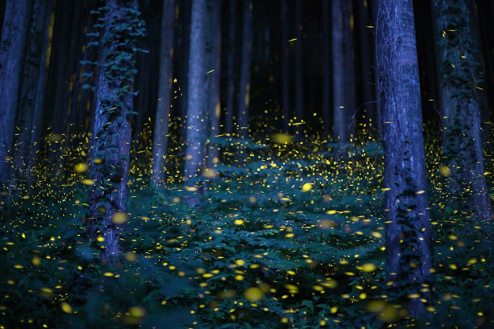 Светлячки в Японии в начале сезона дождей