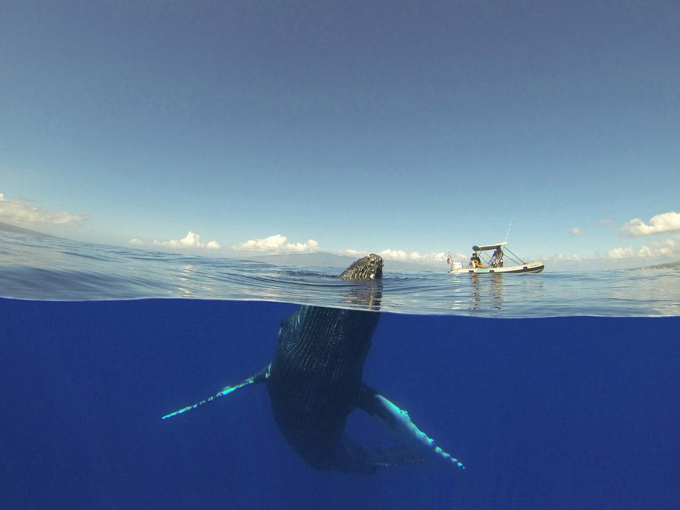 Горбатый кит и лодка, Гавайи