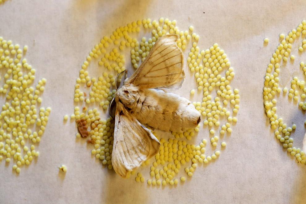 Тутовый шелкопряд и яйца бабочки