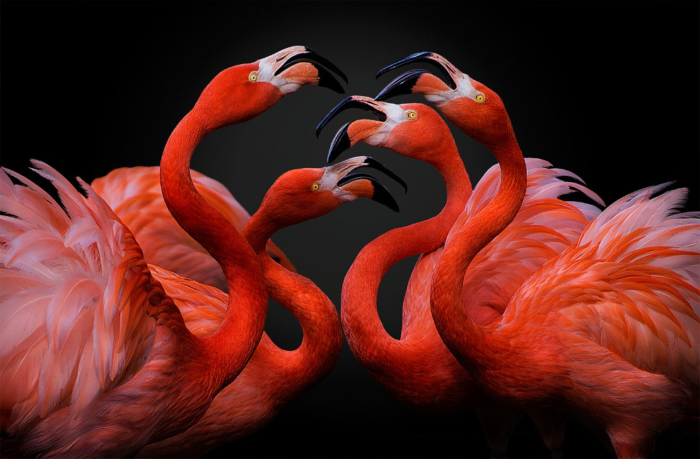 Спор фламинго