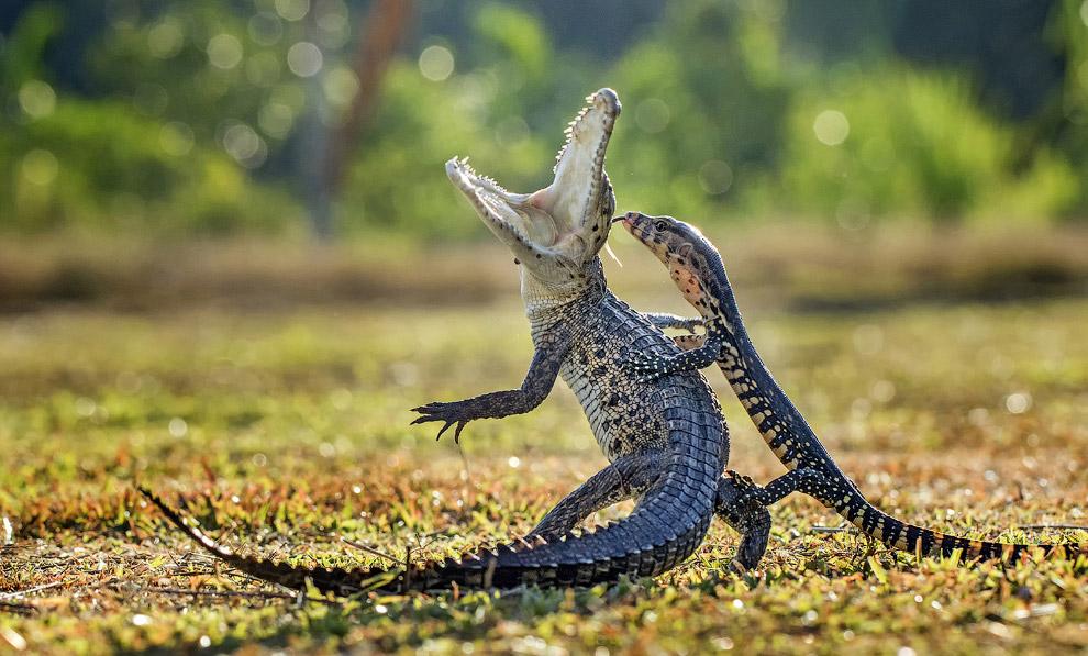 Ящерица неожиданно залезла на крокодильчика