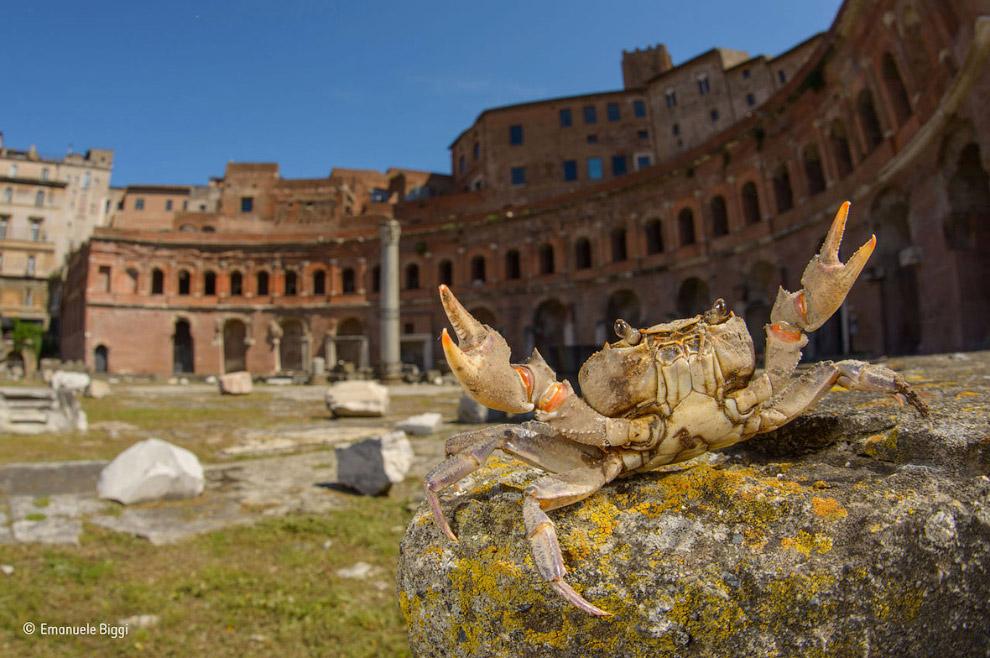 Краб-гладиатор, Италия