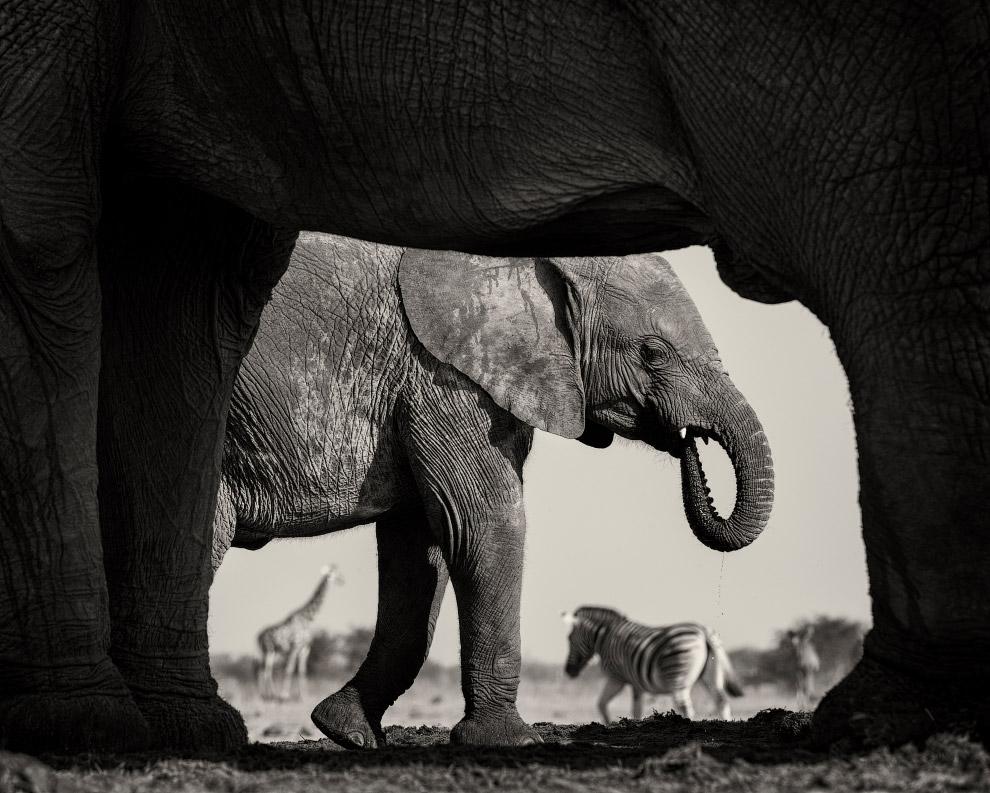 Слоны, зебры и жирафы