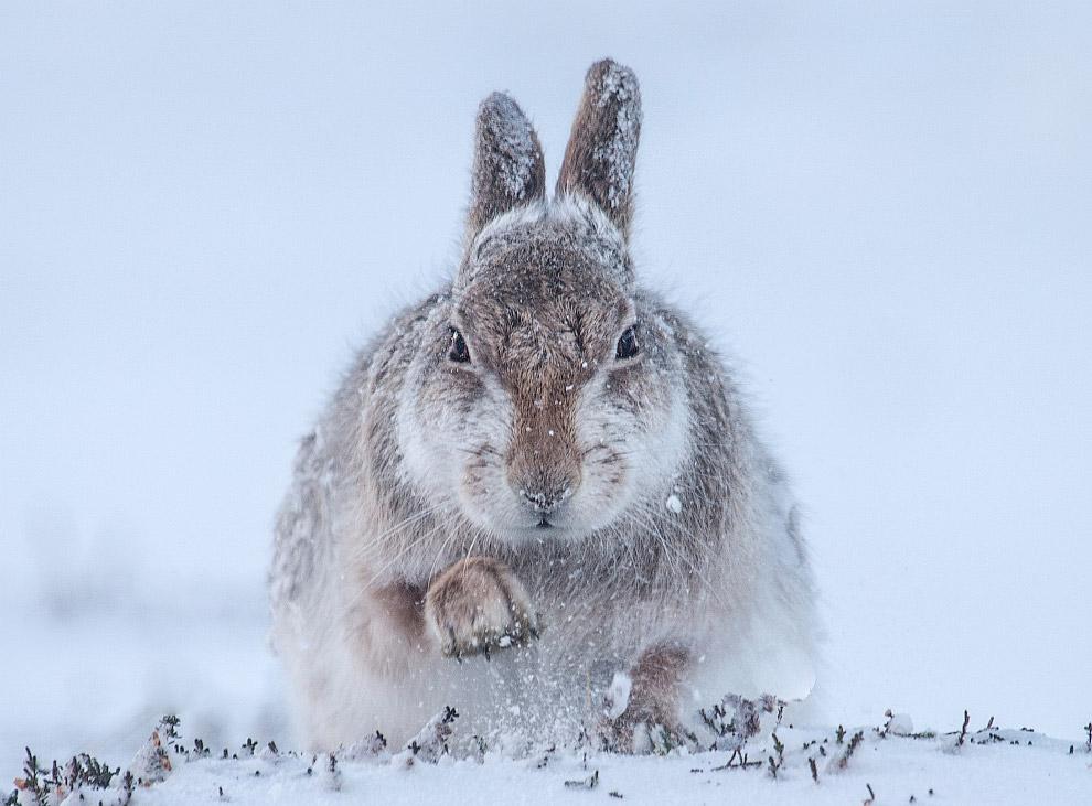 Заяц, Шотландия