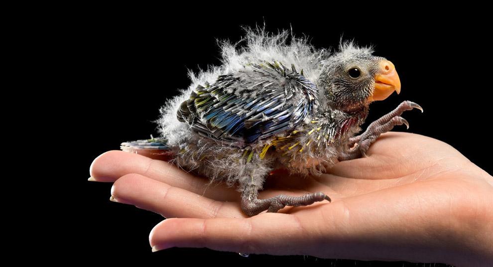 Недавно рожденный попугай Розелла