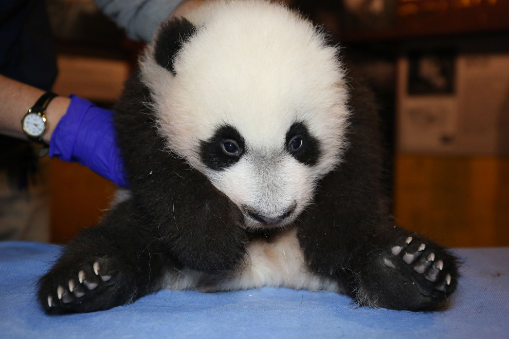 Учимся сидеть. Маленькая панда в зоопарке в Вашингтоне