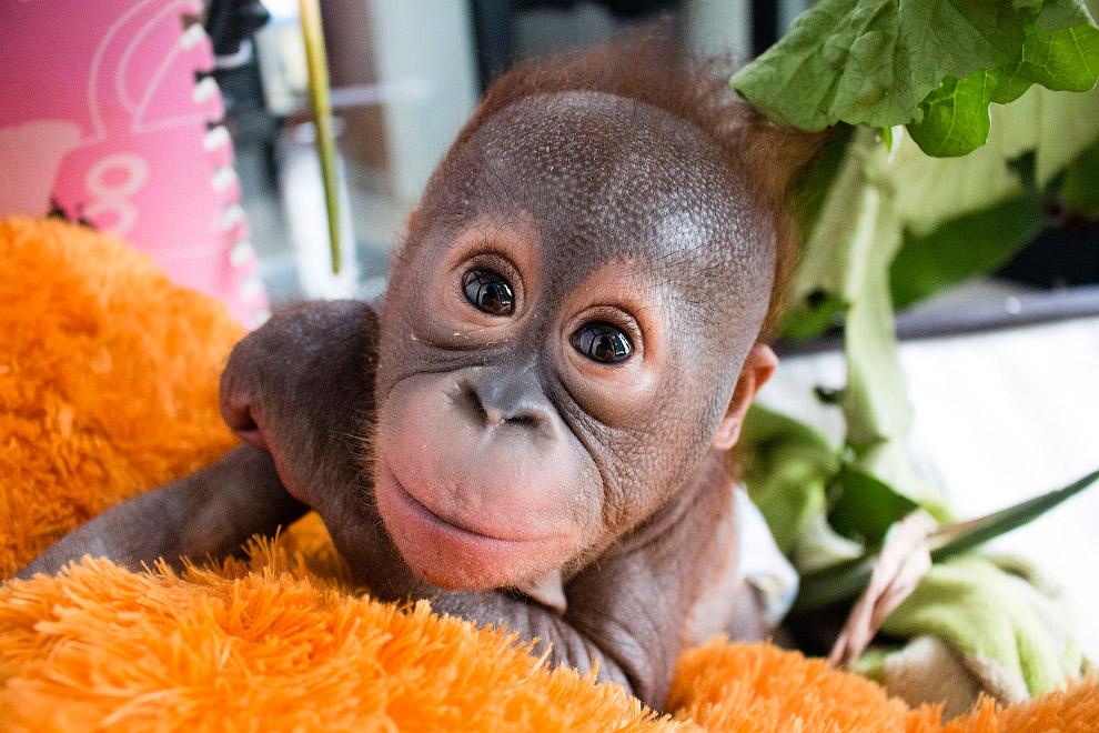 Маленького орангутанга нашли в картонной коробке, оставленной на солнце, на острове Борнео