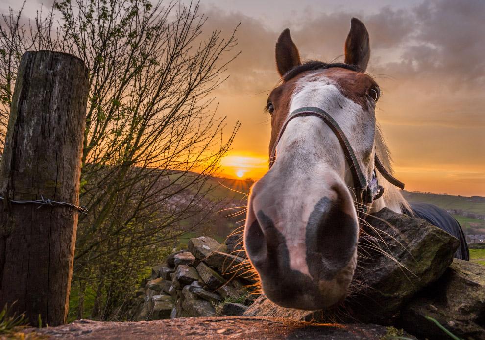 Любопытная лошадь в Йоркшире, Англия