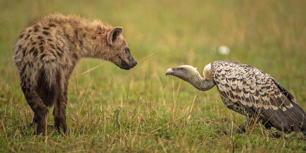 Гиена и гриф в заповеднике Масаи Мара, Кения