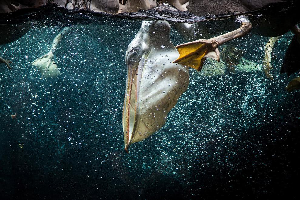 Пеликан нырнул за рыбой