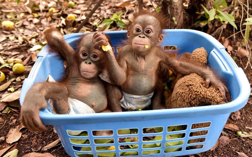 Орангутанги в реабилитационном центре на острове Борнео