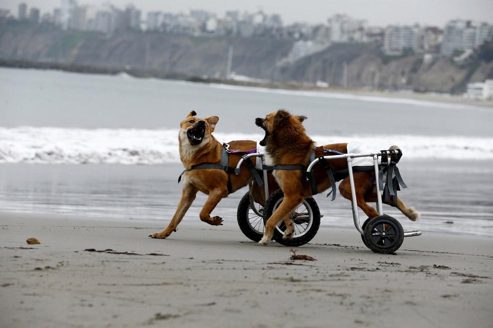 А это две собаки на пляже в Лиме, Перу