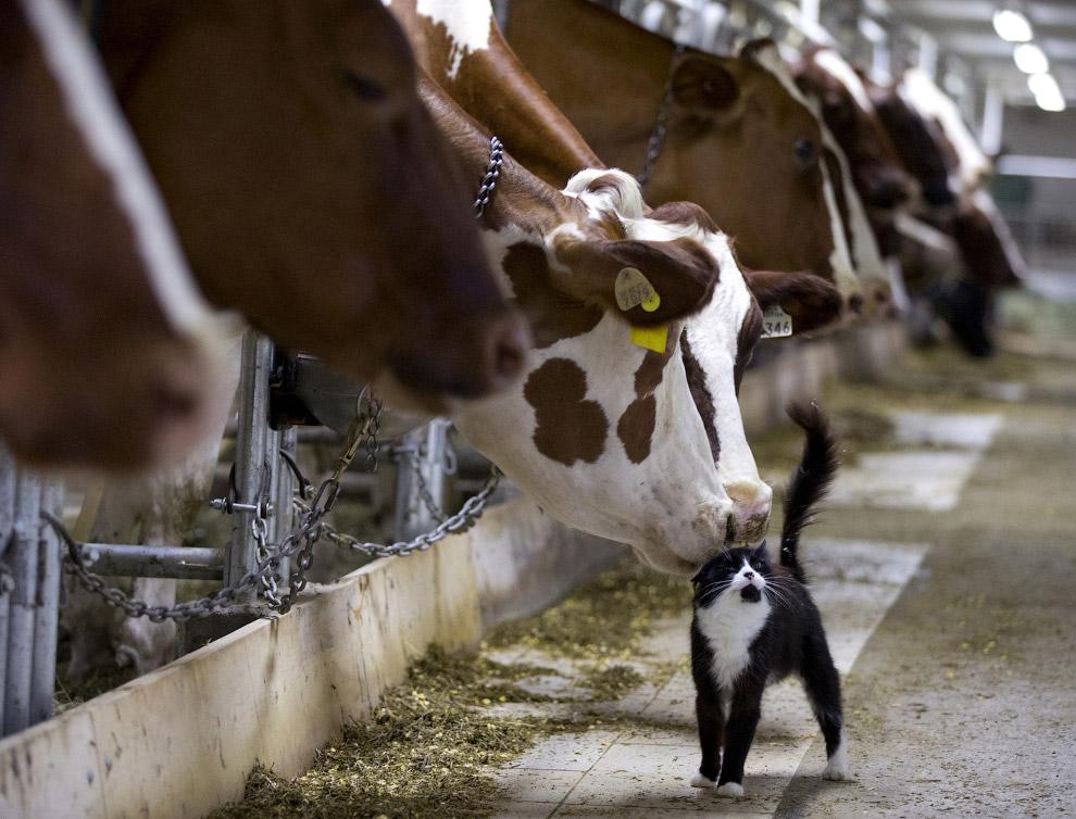 Добрые коровы и кот