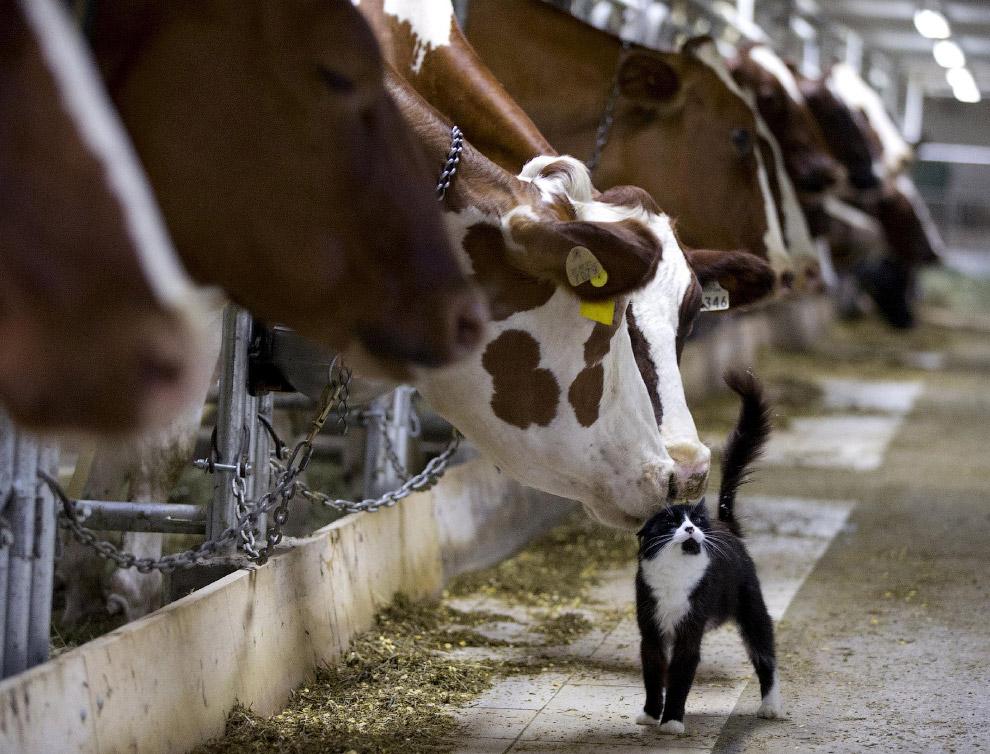 Коровы и кошка, Квебек, Канада