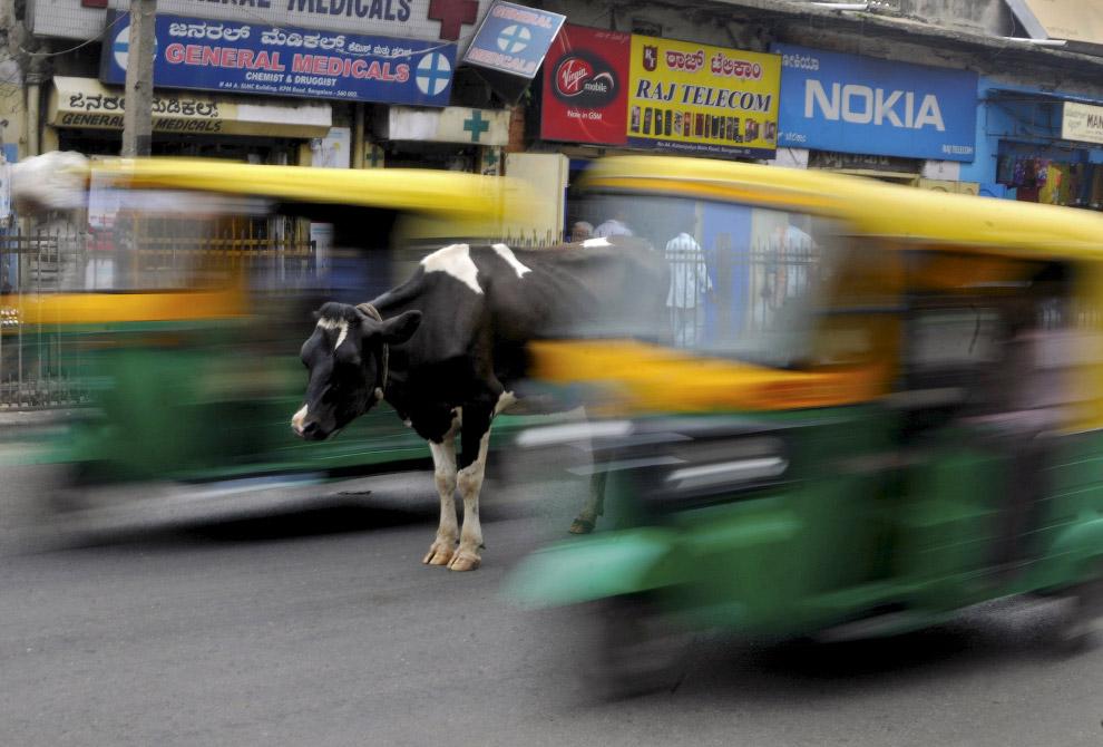 Корова на оживленной дороге в Бангалоре, Индия