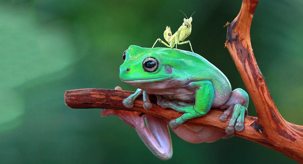 Богомол и лягушка, Индонезия
