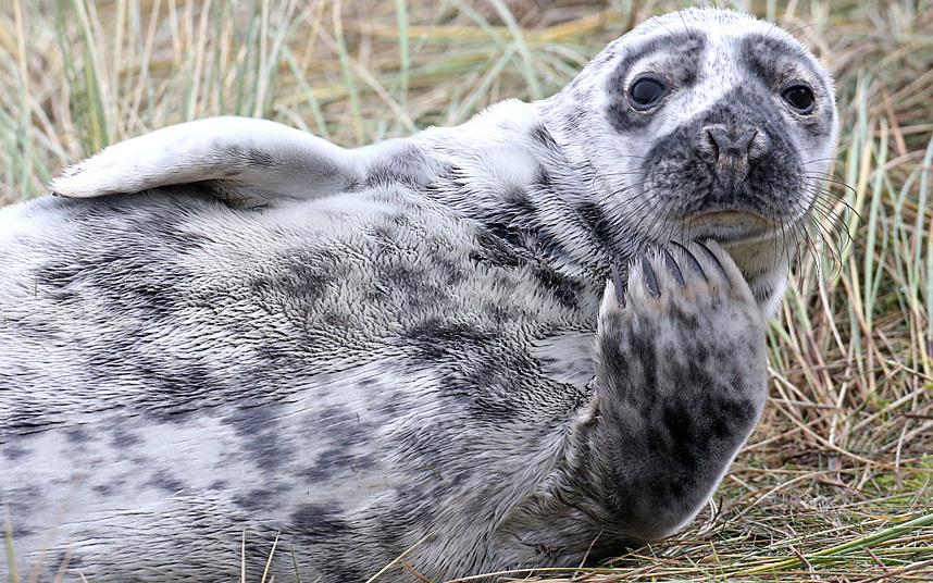 Задумчивый тюлень в Норфолке, Англия