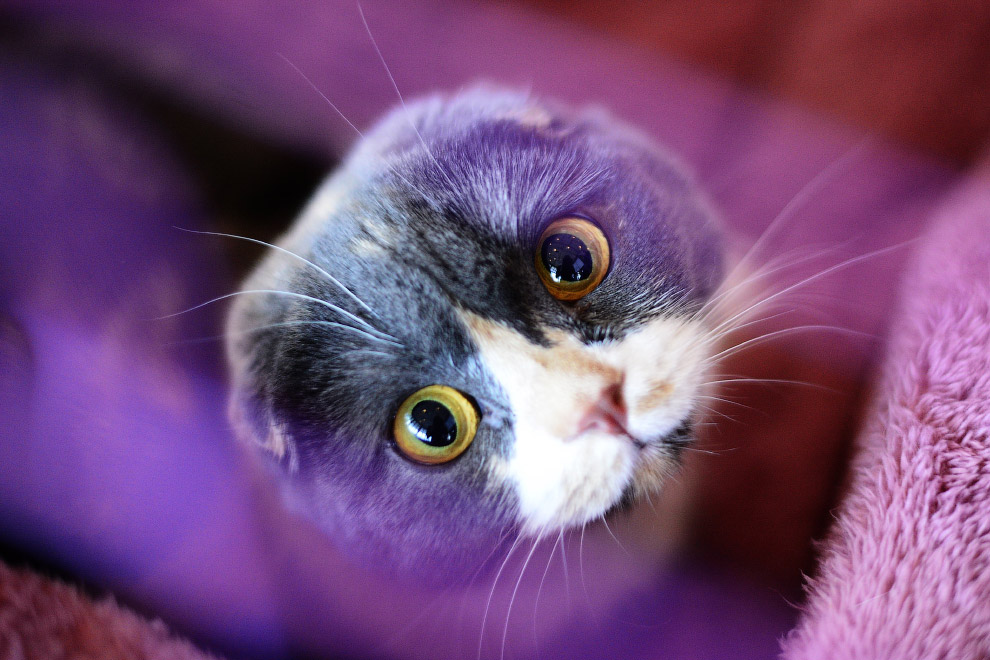 Шотландский вислоухая кошка на выставке во Владивостоке