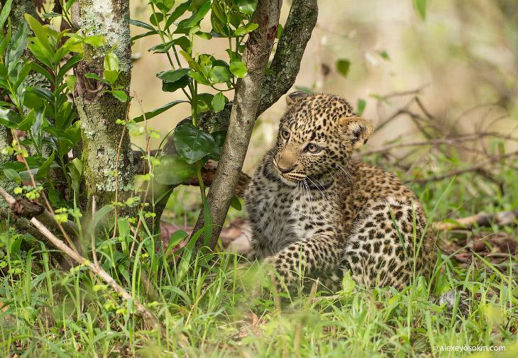 Леопардик Поли