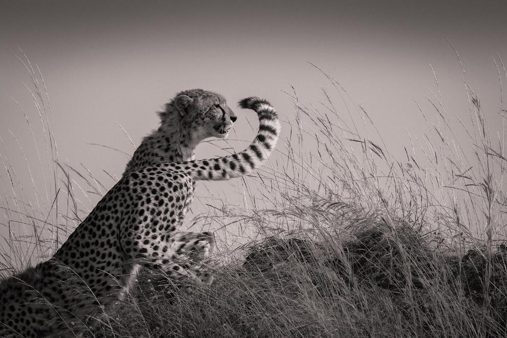 Гепарды в заповеднике Масаи Мара, Кения
