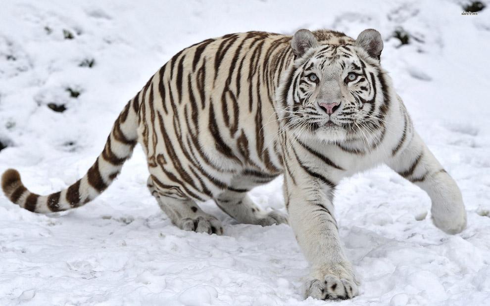 Снежный тигр