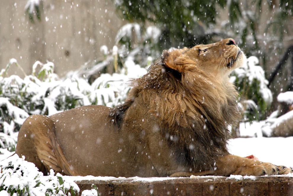 Снежный лев
