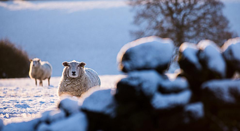 Снежные овцы в Йоркшире