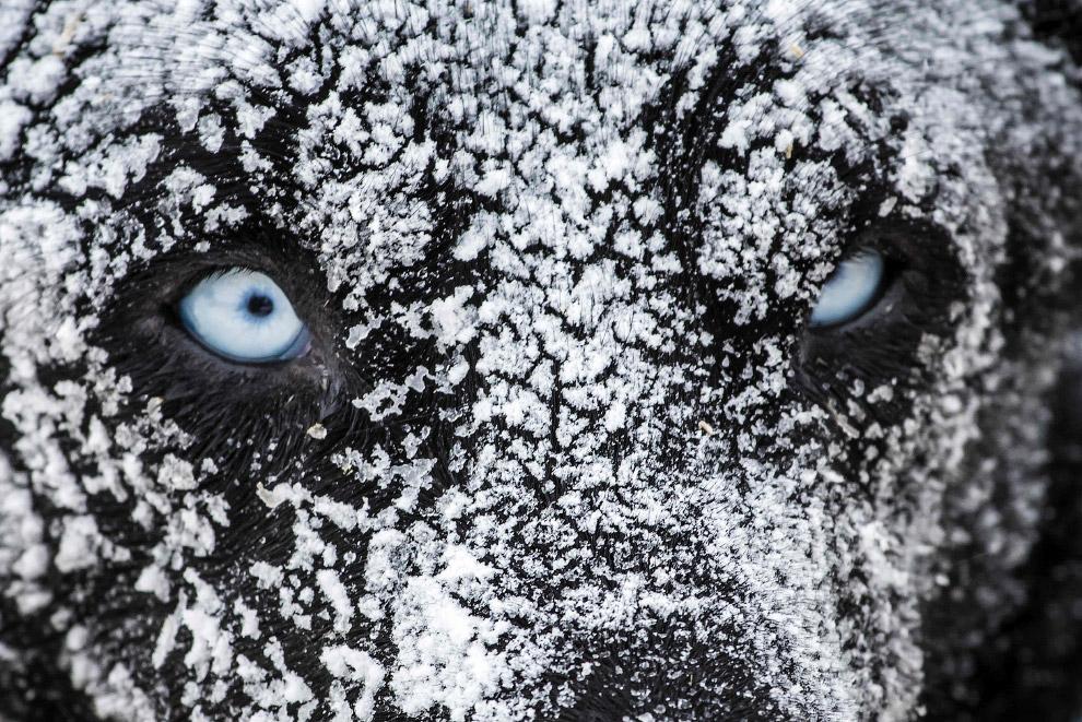 Каждый год в январе во французских Альпах стартует традиционная гонка на собачьих упряжках «Большая Одиссея» (La Grande Odyssee)