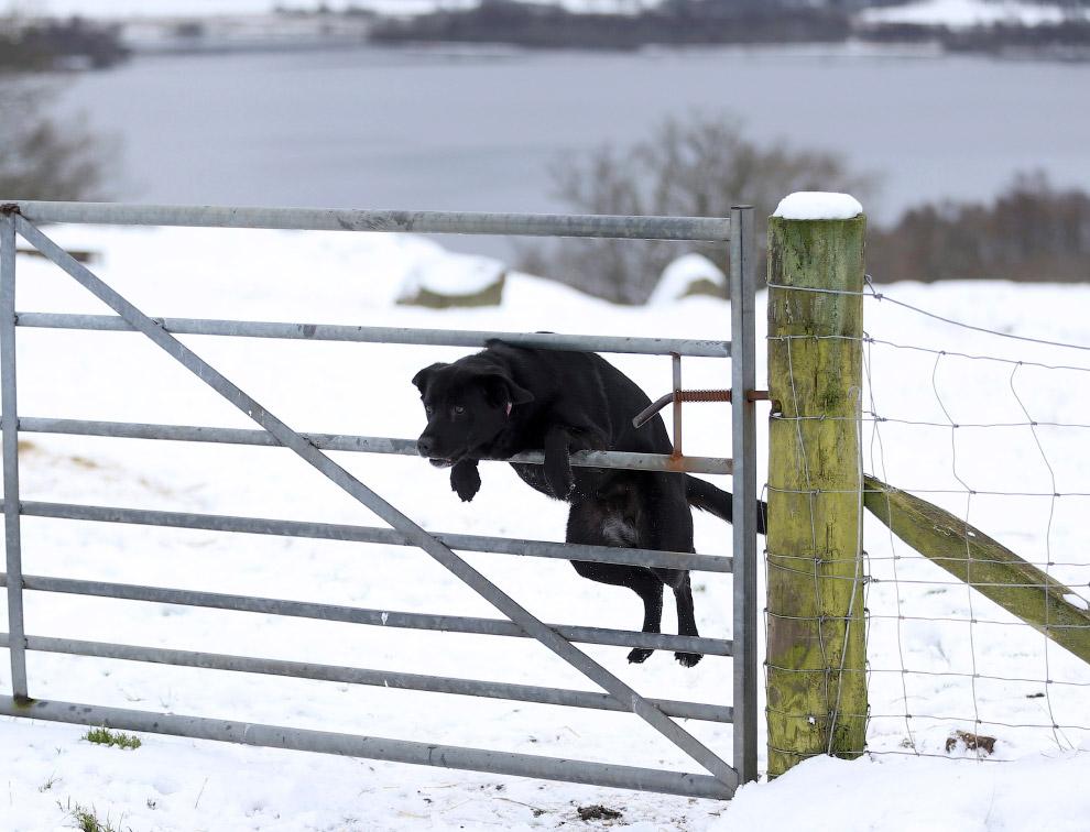 Собака прыгает через забор в Шотландии