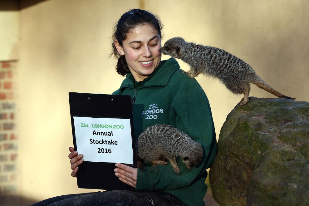 Сурикаты помогают сотрудникам зоопарка, как могут