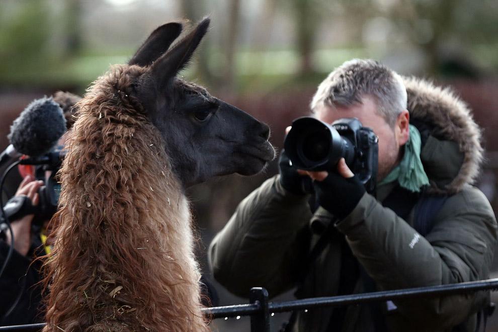 Любопытная лама