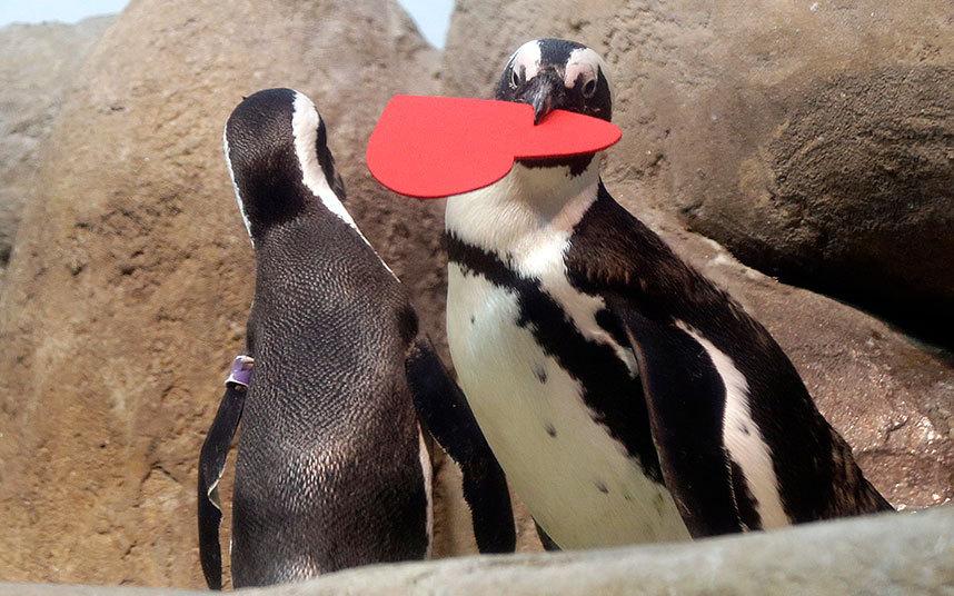 Африканские пингвины в Калифорнии