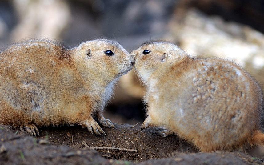 Романтичные луговые собачки в Берфорде