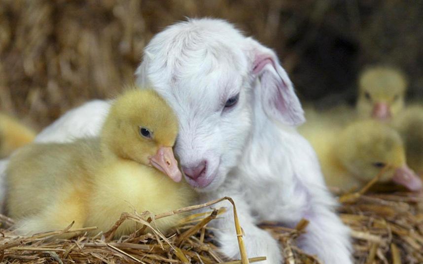 Нестандартная пара: утенок и коза