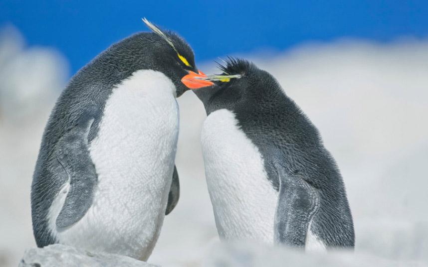 Пингвины. Суровая нежность на Фолклендских островах