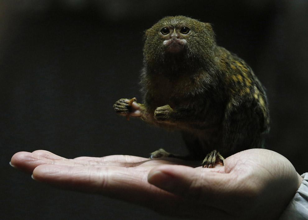 Карликовая мартышка — самая маленькая обезьянка в мире