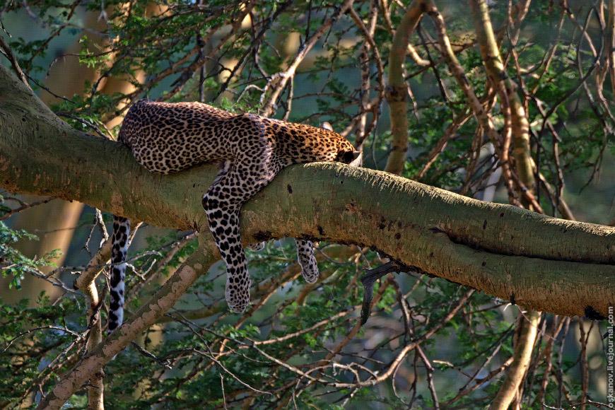 леопард (Panthera pardus