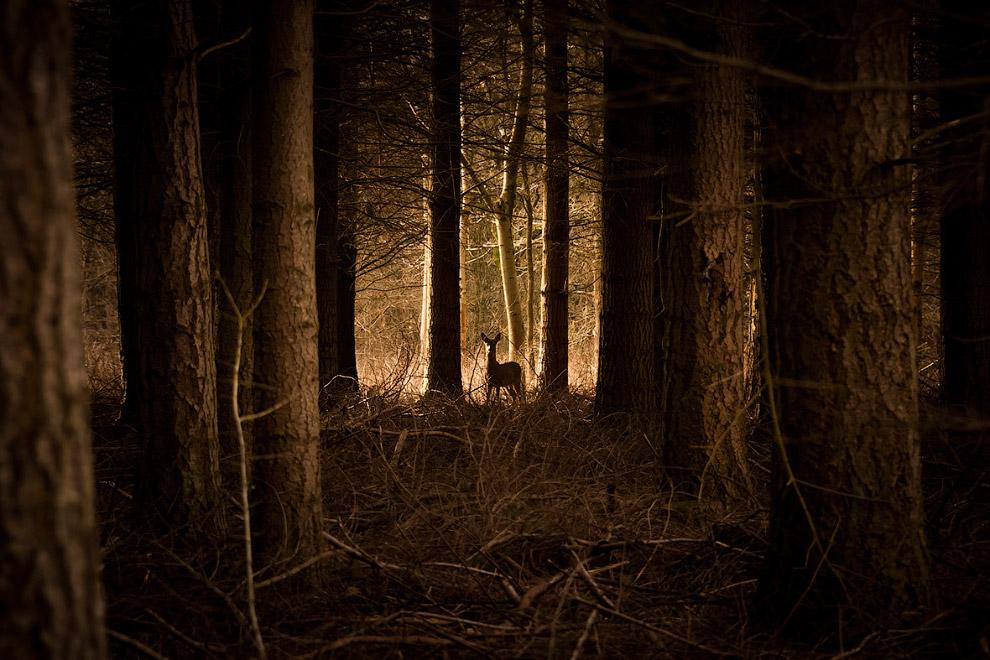 Олень в лесу графства Оксфордшир